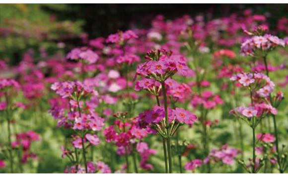兵庫縣六甲高山植物園的報春花最佳賞花季節!一大片開闊的粉色花叢堪稱絕景啊